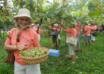 Colheita da uva Goethe na Vigna Mazon. A tradicional celebração ocorrerá de 18 a 20 de janeiro. Foto: Divulgação