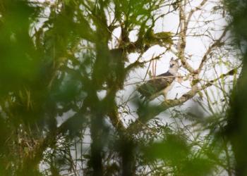 Registros do uiraçu são raros no RS: última anotação foi há cerca de cem anos. Foto:  Dante Andres Meller/Divulgação