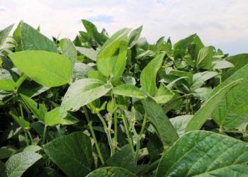 Na região de Ijuí, 45% da soja plantada se encontra em estado de floração. Foto: Cleuza Brutti/Ascom Emater/RS-Ascar