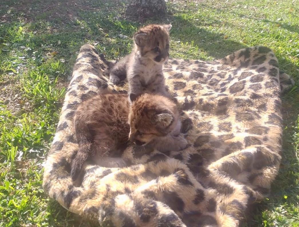 Filhotes de puma recebem cuidados do Grupo de Estudos de Animais Silvestres da UPF. Foto: Universidade de Passo Fundo/Divulgação