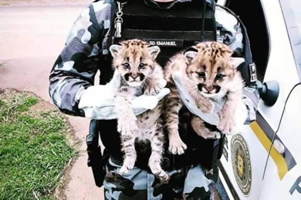 Os filhotes foram encontrados por populares no perímetro urbano. Foto: Brigada Militar.Divulgação
