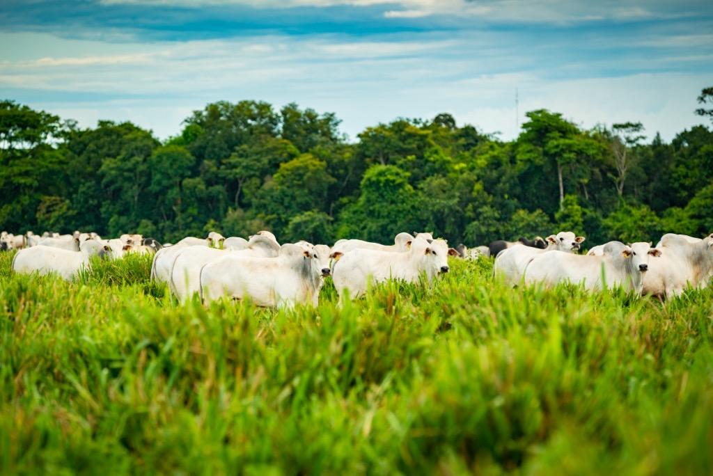 JBS e fundo para a Amazônia. Animais bovinos em pasto.