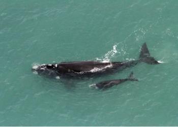Um total de 42 baleias-francas (20 mães acompanhadas de filhotes e 2 adultas sozinhas) foram avistadas no monitoramento. Foto: Divulgação/Instituto Australis