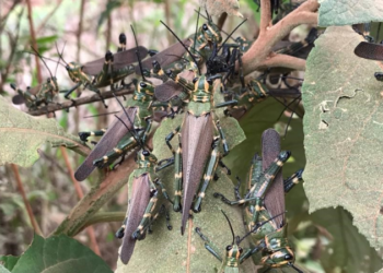 Gafanhotos da espécie Chromacris speciosa. Foto: Divulgação/Seapdr
