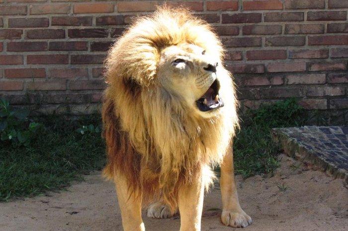 O leão sofria de doença renal e já tinha idade avançada. Foto: Parque Zoológico de Sapucaia/Divulgação
