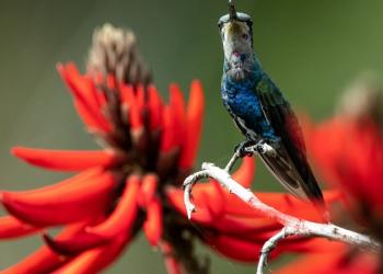 O bico-reto-azul se alimenta de néctar e é visto com mais frequência na região oeste. Foto: Mariano Pairet/Divulgação
